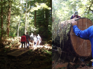 Left: Fish-WIKS-ers walking the Meares Island boardwalk. Right: Felled cedar being milled on site for boards